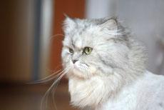 persan caractere origine sante poil couleur entretien fiche chat