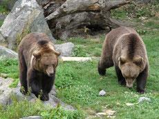 ours brun taille poids longevite habitat alimentation