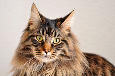 maincoon caractere origine sante poil couleur entretien fiche chat