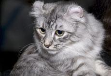 american curl caractere origine sante poil couleur entretien fiche chat
