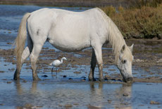 camargue caractere origine robe sante fiche cheval