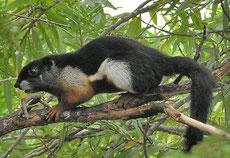 ecureuil arboricole de prévost