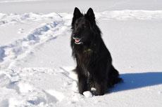 groenendael berger belge chien