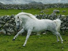 connemara caractere origine robe sante fiche poney