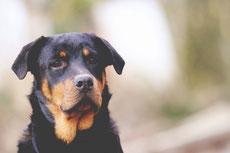 rotweiler caractere origine sante poil couleur entretien fiche chien