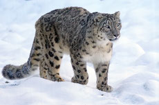 leopard panthere des neiges