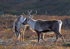 renne ou caribou