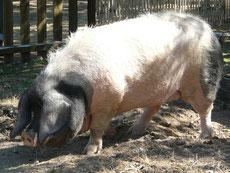 porc pie noir du pays basque