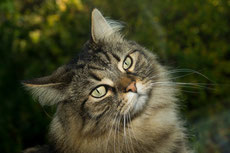 norvegien chat des forets de norvege caractere origine sante poil couleur entretien fiche chat