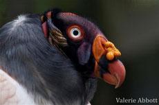 vautopur pape