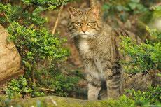 chat sauvage taille poids longevite habitat alimentation