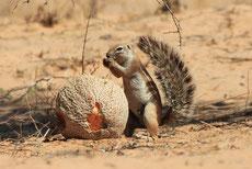 xerus ou ecureuil fouisseur du cap