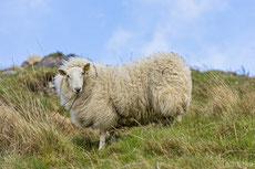 mouton cheviot
