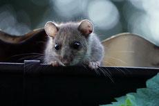 loir gris taille poids longevite habitat alimentation