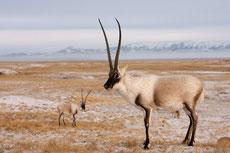 antilope du tibet chiru