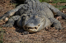 aligator d amerique