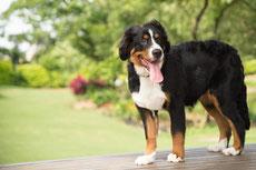 bouvier bernois caractere origine sante poil couleur entretien fiche chien