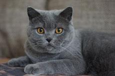 chartreux caractere origine sante poil couleur entretien fiche chat