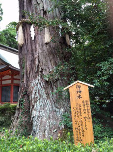 樹齢1000年