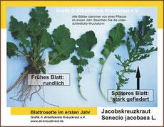 Grafik Senecio jacobaea (Blatt)