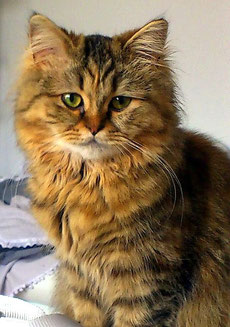 BLH, golden tortie tabby mackerel, kein Wide Band, Jungtier, Foto: Christiane