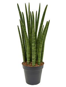 Sansevieria cylindrica Tower