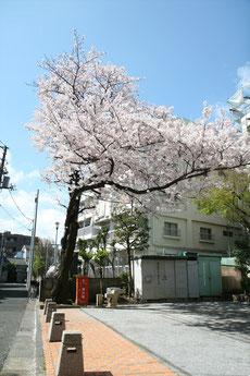 みやもも桜