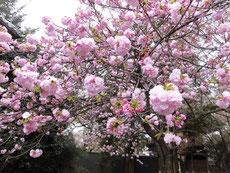 この桜はこれからが本番のようだ