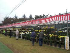 菊を鑑賞する人は少ない
