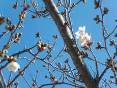 やっと、開花宣言ができるレベルの桜