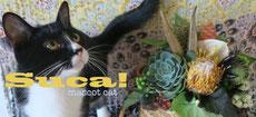 ボクは2代目看板猫のsuca!です☆ ボクのページはこちらだよー☆