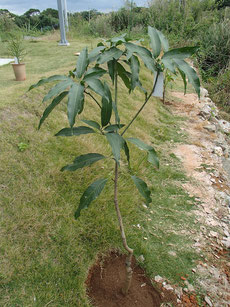 地植え タイノウマンゴー