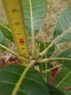 地植え キンコウマンゴー 新芽あり