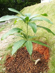 地植え キンコウマンゴー