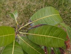 地植え ギョクブンマンゴー 葉が黒っぽい