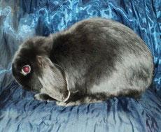 сатиновый вислоухий кролик
