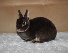 карликовый-кролик-породы-рекс