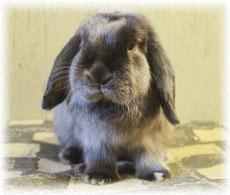 вислоухий-карликовый-кролик