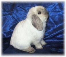 вислоухий карликовый кролик NHD