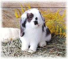 кролик-декоративный-вислоухий