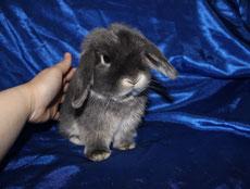 карликовый вислоухий кролик