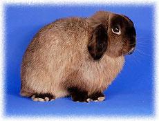 вислоухий-кролик-nhd