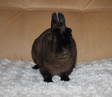 карликовый-кролик-рекс