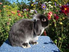 вислоухий сатиновый кролик баран
