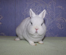 кролик-карликовый-гермелин