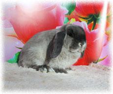 вислоухий-кролик-купить