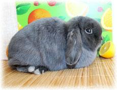 вислоухий-кролик-цена