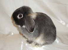 карликовый кролик mini lop