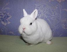 карликовый-кролик-гермелин
