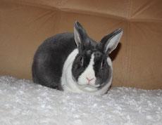 кролик-карликовый-рекс